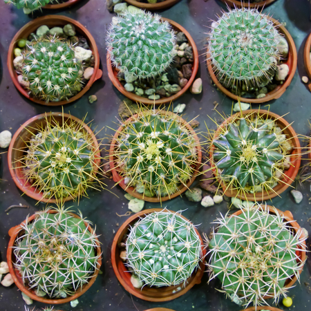 potted plant cactus: The close up of small potted cactus in the plant market.