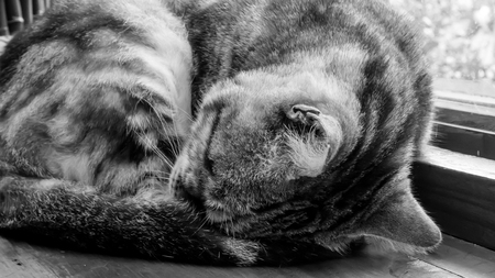 The close up of cute cat sleeping on the wooden table. (black and white tone mood)