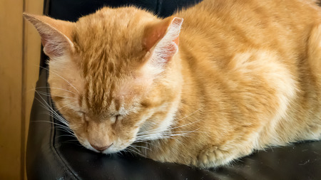 The close up of cute brown cat sleeping on the black leather chair. Reklamní fotografie