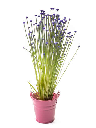 The Lachnocaulon bog button flower plant (La Ong Dao) in small pink pot on white background.