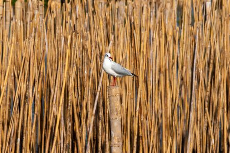perching: Migrant seagull perching on a bamboo stick