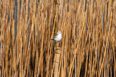 bamboo stick: Migrant seagull perching on a bamboo stick