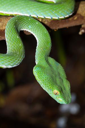 bicolored: Closeup wild Chinese tree viper, Stejnegers pit viper, Bamboo pit viper, Bamboo viper
