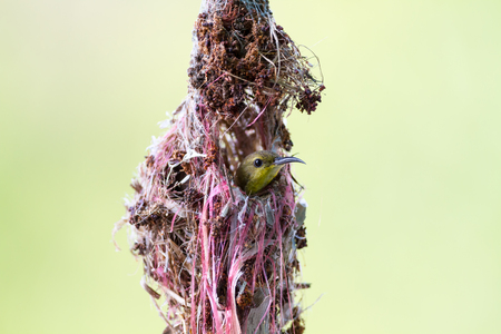 sunbird: Olive-backed sunbird building its nest