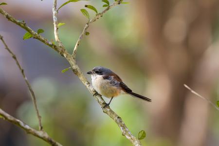 vittatus: Juvenile bay-backed shrike alight on tree branch