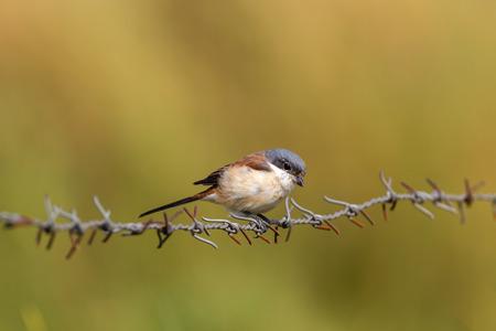vittatus: Juvenile bay-backed shrike alight on barbed wire
