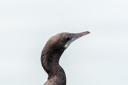 cormorant: Little cormorant