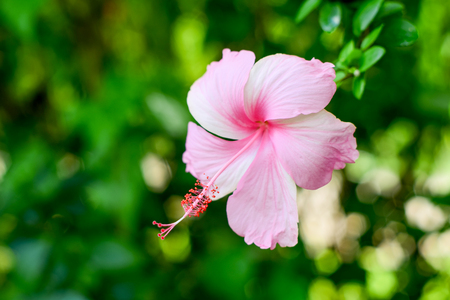 pink hibiscus flower on blurred  background Stock fotó