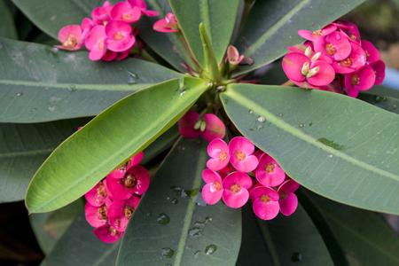 Poi Sian flowers Stok Fotoğraf