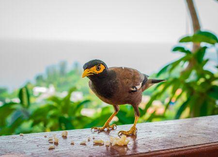common myna bird: Myna bird standing. Common myna, Indian myna, Mynah (Acridotheres tristis).