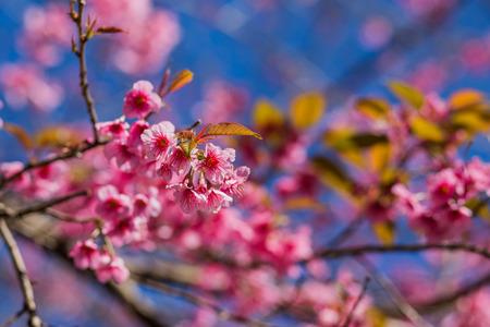 himalayan: Blossom of Wild Himalayan Cherry
