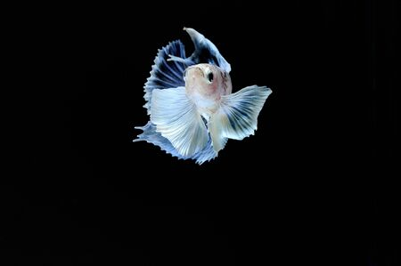fineart: Capture the moving moment of elephant ear fighting fish on black background