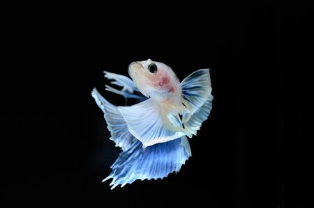 capture the moment: Capture the moving moment of elephant ear fighting fish on black background
