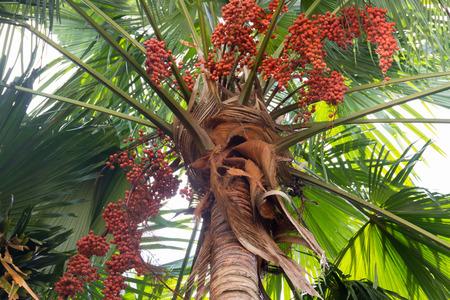 areca: Areca tree Stock Photo