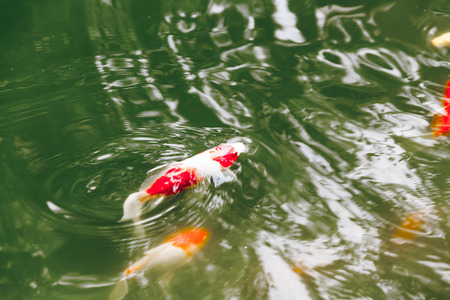 flood area: Koi or Fancy Carp Fish swimming in rapid stream water.Reflection of light on surface ripple. Stock Photo