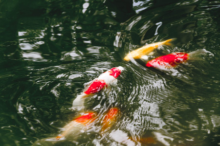 liquid level: Koi or Fancy Carp Fish swimming in rapid stream water.Reflection of light on surface ripple. Stock Photo