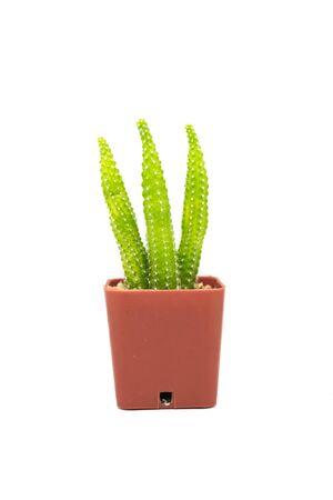Single cactus isolated on white background. Stock Photo