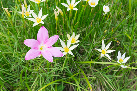 Beautiful of Rain Lilies flower (Genus:Zephyranthes, Species: grandiflora syn Z.rosea, Z carinata). Concept nature beautiful.