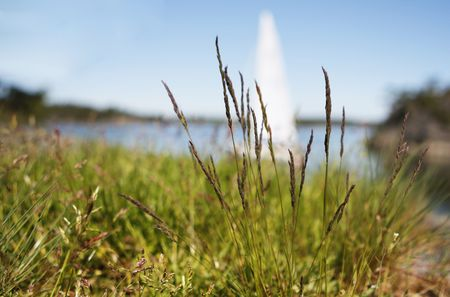sailingboat: Tall grass with a sailingboat in the background