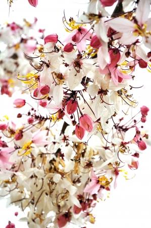 pink cassia flower bouquet Stock Photo - 13757835