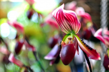 Orchid, PAPHIOPEDILUM Stock Photo - 13757829