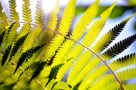 Sun shining through fern leaves photo
