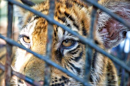 Face of tiger in cage, close-up photo