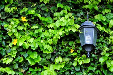 Streetlight and Ivy leaves photo