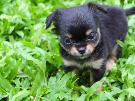 Cute Chiwawa black and tan photo