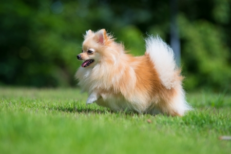 runing: A small orange pomeranian dog runing on the grass