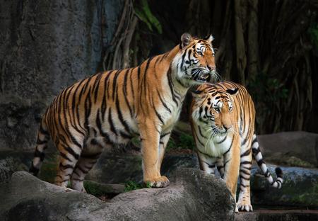animaux: Portrait d'un tigre royal du Bengale Banque d'images