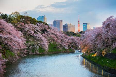 Tokyo, Japan - April 6, 2014: Sakura blossom at Kitanomaru Garden, Tokyo, Japan on April 6, 2014.