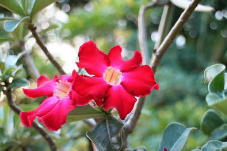 Impala lily adenium - red flowers photo