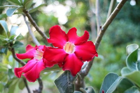 adenium: Impala lily adenium - red flowers