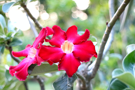 impala lily: Impala lily adenium - red flowers