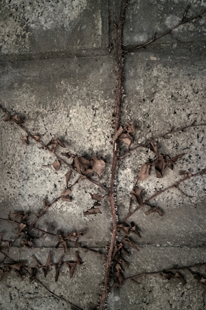 creeping plant: Dried ivy leaf on the wall
