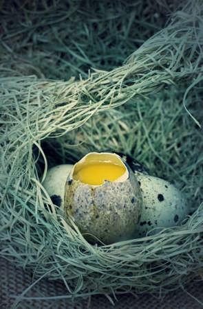 quail nest: Quail eggs in the nest Stock Photo