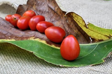 hojas secas: Tomates frescos en hojas secas