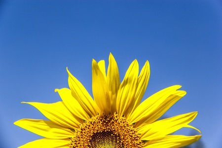 Vibrant yellow sunflowers against cloudy sky background photo