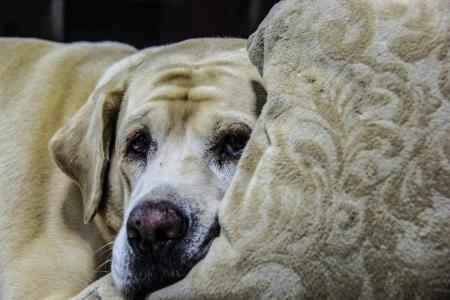 ラブラドル ・ レトリーバー犬枕と睡眠