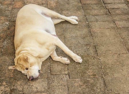 Fat Labrador Retriever sleep on the floor photo