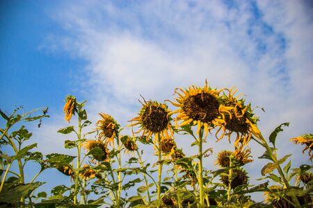 droop: Sunflower field  droop