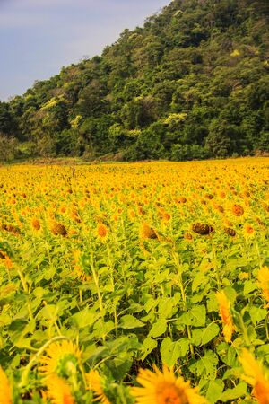Sunflower field  droop  with blue sky and mountain photo