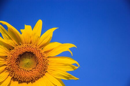 Vibrant yellow sunflowers against blue sky background photo