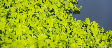 water hyacinth: Water Cabbage on the water, Water hyacinth