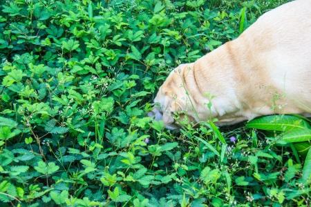 inhaled: Fat labrador retriever smell , Are inhaled