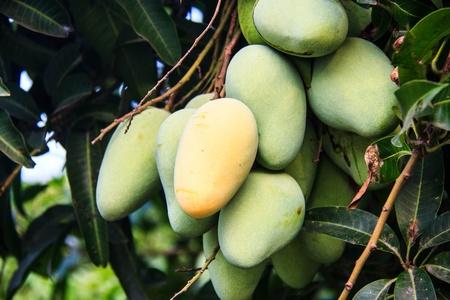 mango tree: mangoes on a mango tree in plantation Stock Photo