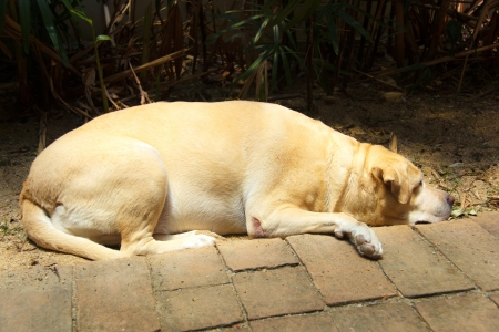 Fat labrador retriever 7 years old photo