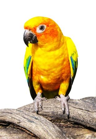native bird: Hermoso loro colorido, Sun Conure Aratinga solstitialis, plumaje y naranja y la cara enrojecida partes inferiores de color amarillo dorado, ave nativa noreste de Am�rica del Sur