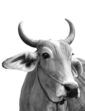 cow, with clipping path photo